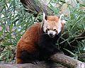 Kleiner Panda Ailurus fulgens Tierpark Hellabrunn-7.jpg