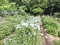 Kobe Municipal Arboretum in 2013-6-22 No,8.JPG