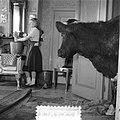 Koeien in de huiskamer in Sloten, Bestanddeelnr 905-0133.jpg