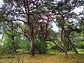 Kurische Nehrung September 2019 Bäume bei Lesnoi.jpg