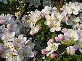 Květ stromu 2.JPG