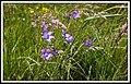 Kwiaty polne - panoramio (1).jpg