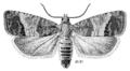 LEPI Tortricidae Cydia pomonella.png