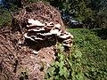 Laetiporus sulphureus gljiva (1).jpg
