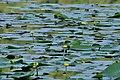 Lago Fimon ninfea gialla.jpg
