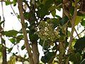 Lal Anchu (Hindi- लाल आंचू) (6367462415).jpg