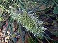 Lamarckia aurea Espiga 2008-4-15 DehesaBoyaldePuertollano.jpg