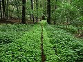 Landschaftsschutzgebiet Horstmanns Holz Melle -Im Wald- Datei 1.jpg