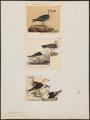 Larus fuscus - 1700-1880 - Print - Iconographia Zoologica - Special Collections University of Amsterdam - UBA01 IZ17900226.tif