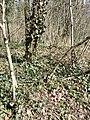 Lathraea squamaria subsp. squamaria sl11.jpg