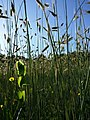 Lathyrus aphaca sl62.jpg