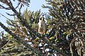 Laughing Falcon (Herpetotheres cachinnans) (8077714497).jpg