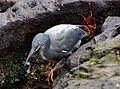 Lava Heron (Butorides sundevalli) Galapagos2.jpg