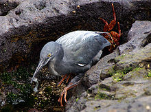 Lava heron, grey with long bill and red feet and with small fish in bill amongst grey rocks