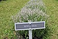 Lavandula angustifolia (23).jpg