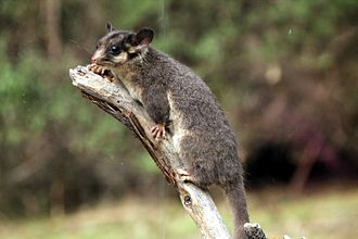 Leadbeater's possum - George, a taxidermied male Leadbeater's possum (Gymnobelideus leadbeateri), that Friends of Leadbeater's Possum uses for its educational work concerning this threatened species.