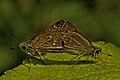 Leaf-top mating posture of Borbo cinnara (Wallace, 1866) – Rice Swift DSC 5395 jayanti.jpg