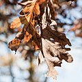 Leaf Veins, Fall, Minneapolis (30417722396).jpg
