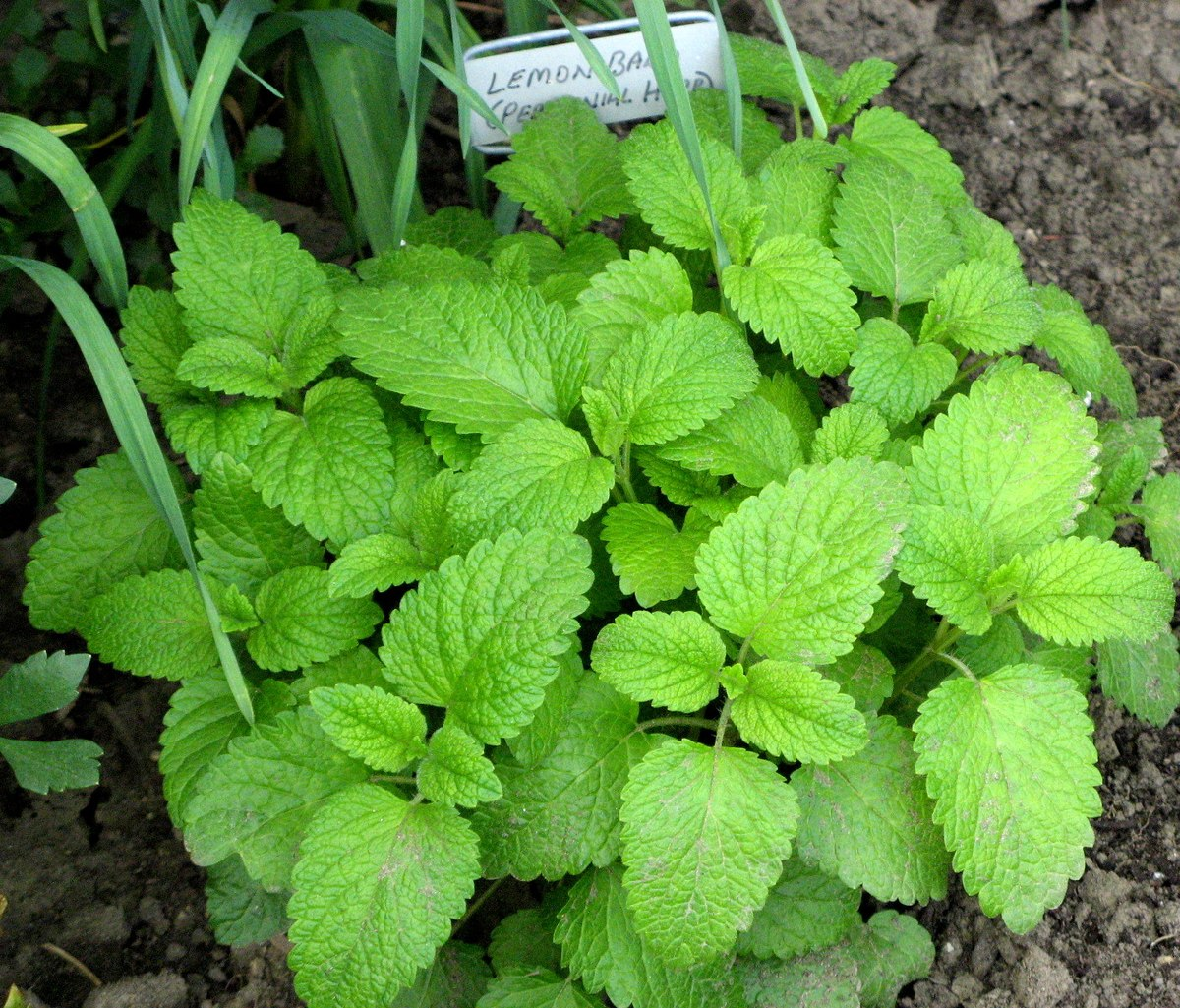 Lemon Balm for a tea herb garden