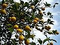 Lemon tree - Syracuse.jpg