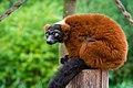 Lemur (36615101625).jpg