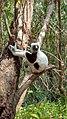Lemur Coquerel's sifaka male.jpg