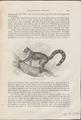 Lemur macaco - 1700-1880 - Print - Iconographia Zoologica - Special Collections University of Amsterdam - UBA01 IZ19700175.tif