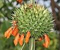 Leonotis nepetifolia (Deepmal) in Narshapur, AP W IMG 1160.jpg