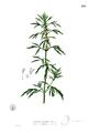 Leonurus japonicus Blanco2.259.png