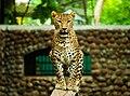 Leopard at Mysore Zoo.jpg