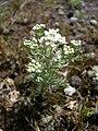 Lepidium papilliferum plant 3.jpg