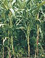 Les Plantes Cultivades. Cereals. Imatge 72.jpg