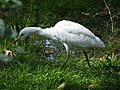 Les oiseaux d'Egypte - panoramio - youssef alam (8).jpg