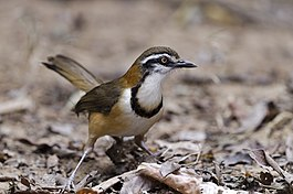 Lesser Necklaced Laughingthrush.jpg