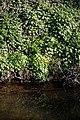 Lesser celandine on Pincey Brook, Chelmsford Road, Hatfield Heath, Essex 02.jpg