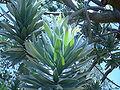 Leucadendron argentium leaves.JPG