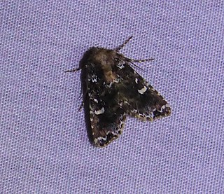 <i>Leucosigma</i> Genus of moths