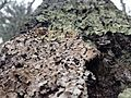 Lichen at Walden Pond.JPG