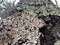 Lichen at Walden Pond.JPG