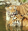 Licking tigers.jpg