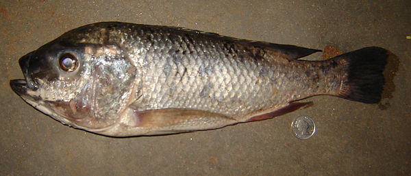 Oreochromis for Is tilapia a man made fish