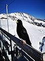 Life on Jungfraujoch.jpg