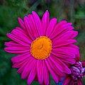 Lilac petals - Flickr - Stiller Beobachter.jpg