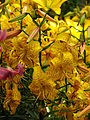 Lilium 'August Gold' 02.JPG