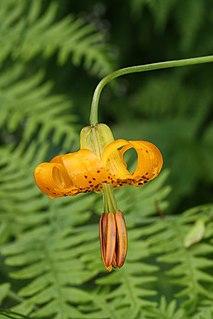 <i>Lilium columbianum</i> Species of lily