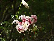 Lilies 180px-Lilium_speciosum
