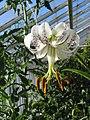 Lilium taliense.jpg