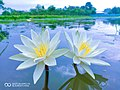 Lily flower from Bangladesh .jpg