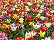 Tulipani fioriti