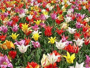 Ornamental bulbous plant - Tulips (Tulipa), a popular species of bulbous plant